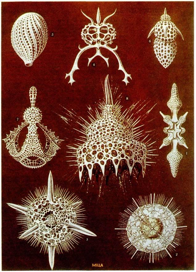 Отдельные особи фораминифер могут жить от 2 недель до 1 месяца (планктонные формы) и до